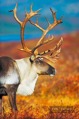 Caribou  (lat. rangifer tarandus) - North America, USA, Alaska, Denali, Denali National Park, Wonder Lake (Alaska Range) - scan