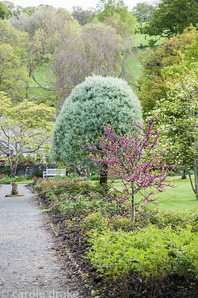 Cercis siliquastrum with silver pear, Pyrus salicifolia, in the walled garden.