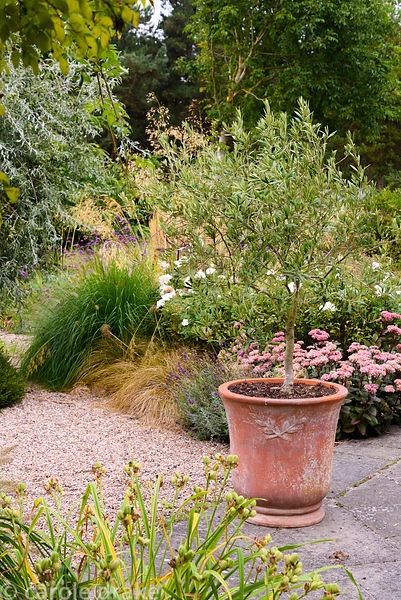 A small olive tree in a terracotta pot with a bed of herbaceous perennials and grasses behind including Hylotelephium 'Matron...
