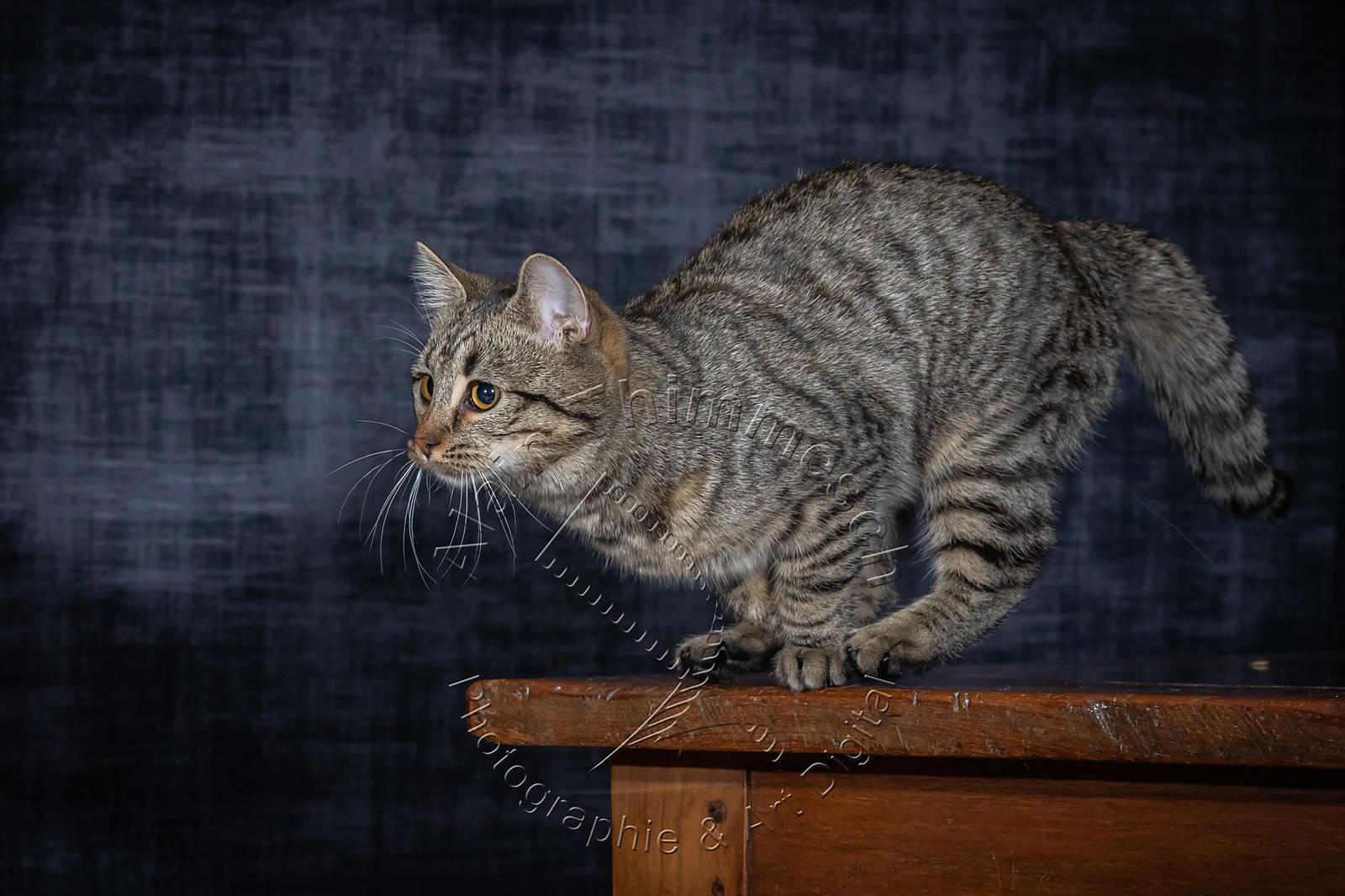 Photographie-Alain-Thimmesch-Chat-1098