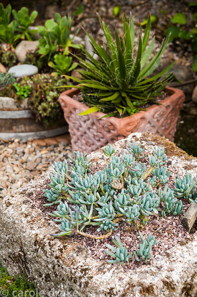 Succulents in containers in the courtyard garden. Dyffryn Fernant, Fishguard, Pembrokeshire, Wales, UK
