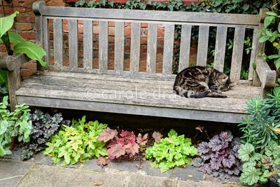 Cat asleep on a bench underplanted with colourful heucheras at Oak Barn, Newark, Notts in September