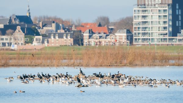 Crowded birds-isle on the flooded forelands of river IJssel.