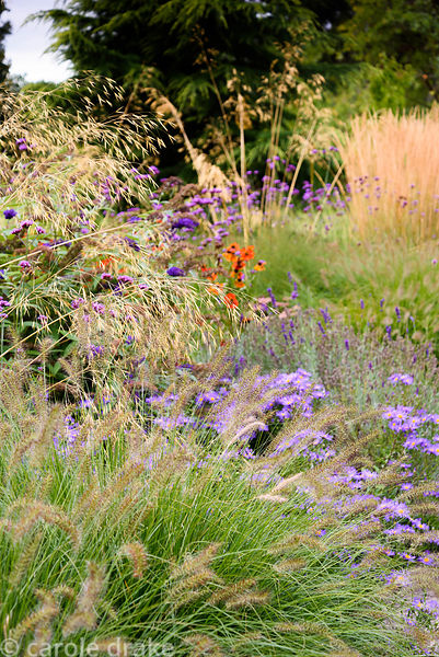 Early autumn in a garden in rural Nottinghamshire planted with a mix of herbaceous perennials and grasses including Stipa gig...