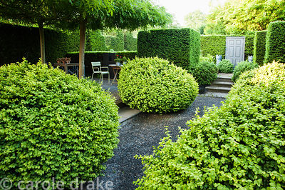 Large loose box shrubs frame the path running beside a courtyard where four trained weeping ash, Fraxinus excelsior 'Pendula'...