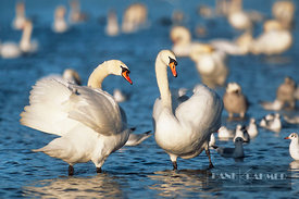 Mute swan  (lat. cygnus olor) - Europe, Germany, Bavaria, Upper Bavaria, Munich, Flaucher, Thalkirchen - scan