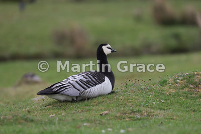 Feral Barnacle Goose (Branta leucopsis), Highland Wildlife Park, Kincraig, Inverness-shire, Scottish Highlands