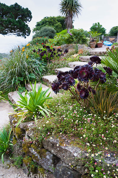 Dark, fleshy Aeonium 'Zwartkop' surrounded by self seeded Erigeron karvinskianus, agapanthus, trachycarpus and dierama in a r...