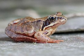 Closeup of a subadult European common brown frog , Rana temporaria in the garden