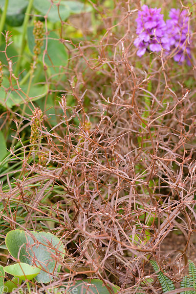 Rumex flexuosus, Maori dock. 2 Durnamuck, Little Loch Broom, Wester Ross