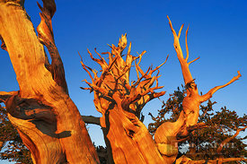 Great Basin bristlecone pine in the White Mountains (lat. pinus longaeva) - North America, USA, California, Inyo, White Mount...