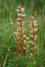 Close up of  the hellroot, or common broomrape, Orobanche minor in the grass
