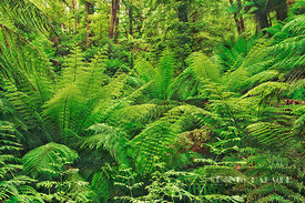 Tree fern in rainforest (lat. cyatheacea) - Australia, Australia, Victoria, Gippsland, Strzelecki Ranges, Tarra Bulga Nationa...