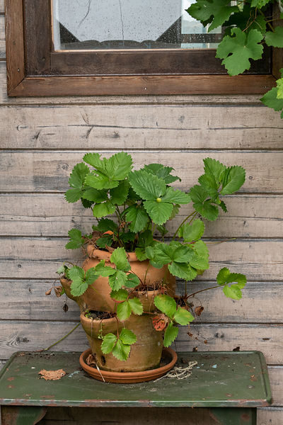 Earthen planter with strawberry plants on sidetable
