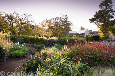 Persicaria, rudbeckias and grasses on a September evening in the walled garden at Cambo Gardens, Fife, Scotland