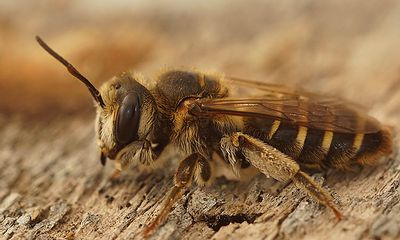 Andrena variabilis, female, Rousson