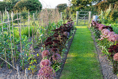 Vegetable garden with grass path leading to a simple paling gate between borders of Allium cristophii and Dianthus barbatus (...