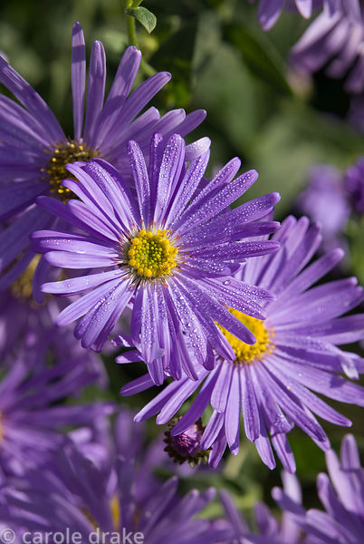 Aster x frickartii 'Monch', AGM. Haddon Lake House, St Lawrence, Isle of Wight, UK