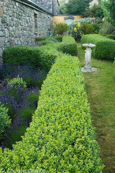 Boxed edged beds filled with lavender lead to a secluded courtyard. Ednovean Farm, Marazion, Cornwall, UK