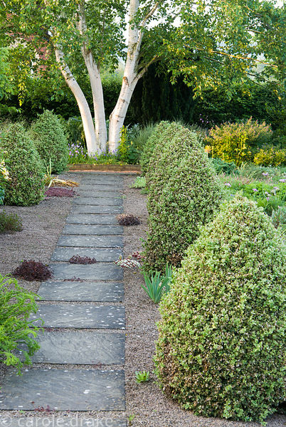 Slab and gravel path framed by cones of Buxus sempervirens 'Elegantissima' leads toward a white stemmed Betula platyphylla. C...