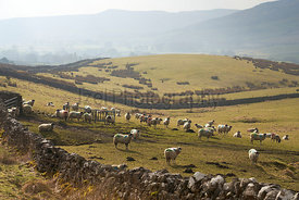 A flock of sheep in a field at a farm near Horton in Ribblesdale