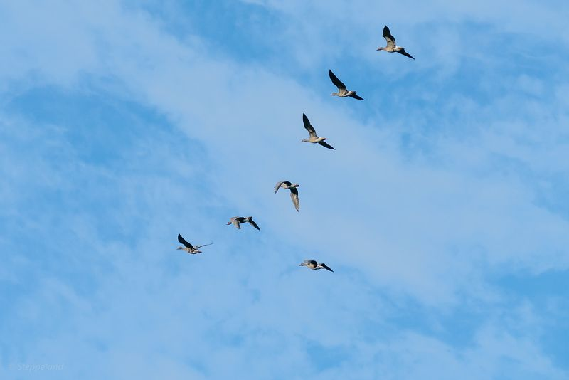 Geese flying over
