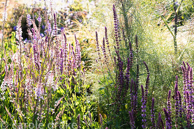 Flowers of Salvia and Linaria purpurea 'Canon Went' mingling with fennel foliage at Sea View, Cornwall in June