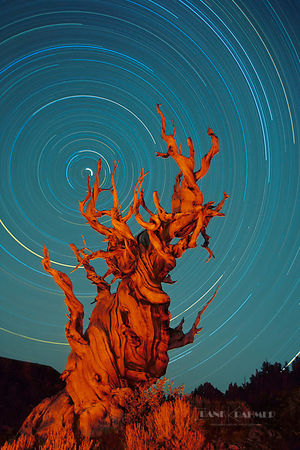 Great Basin bristlecone pine  (lat. pinus longaeva) - North America, USA, California, Inyo, Inyo Forest (Inyo National Forest...