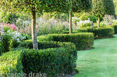 A serpentine, clipped hedge of Osmanthus delavayi frames clipped holm oaks, Quercus delavayi at the back of the summer border...