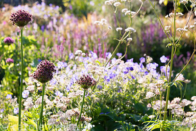 Allium 'Firmament' amongst Valeriana officinalis, astrantias and geraniums at Sea View, Cornwall in June