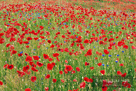 Corn poppy and cornflowers (lat. papaver rhoeas) - Europe, Germany, Bavaria, Upper Bavaria, Miesbach, Holzkirchen - digital