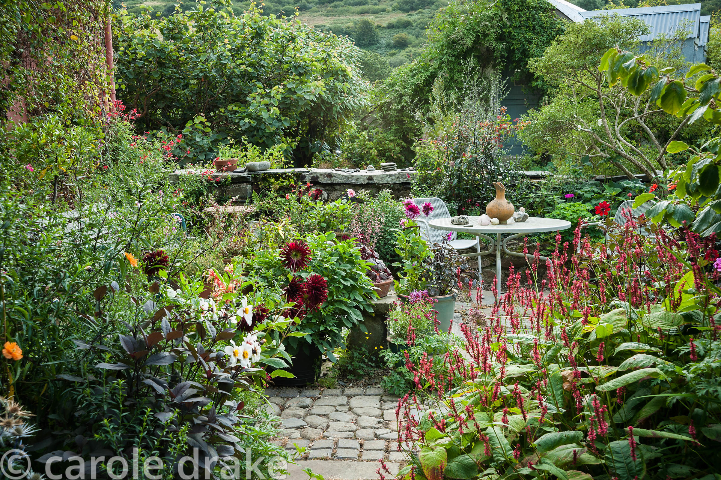Seating area in the front garden is surrounded by pots of dahlias, persicaria, salvias and heucheras. Dyffryn Fernant, Fishgu...