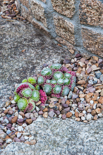 Succulents are planted into the gravel on the terrace. The 'Garten' Garden, Lower Treculliacks Farm, Falmouth, Cornwall, UK