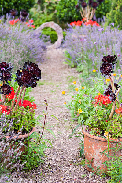 Pots of Aeonium 'Zwartkop' and scarlet pelargoniums in the Rickyard with lavender and calendula.  At the end of the gravel pa...