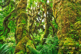 Temperate rainforest with moss covered maples - North America, USA, Washington, Jefferson, Olympic National Park, Hoh River, ...