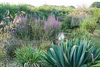 Wildlife pond at the end of the garden featuring purple loosestrife, Stipa gigantea, Verbena bonariensis and other grasses. C...