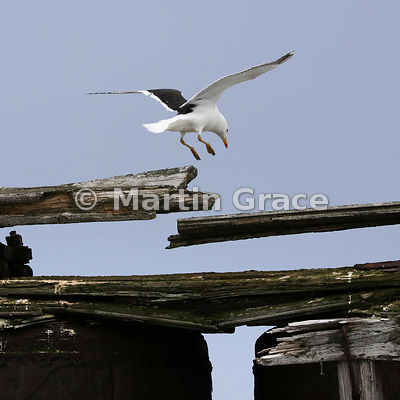 Kelp Gull (Larus dominicanus) in flight, about to land on the abandoned whaling station at Deception Island, South Shetland I...
