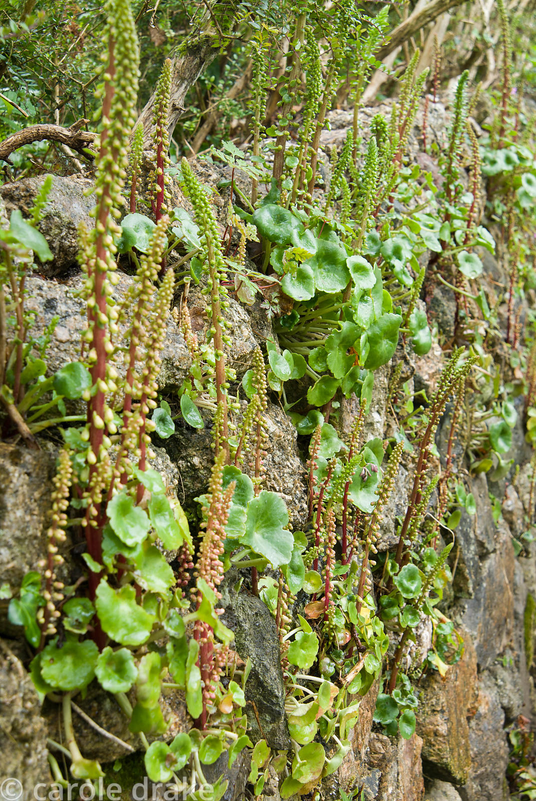 Stone wall colonised by navelwort, Umbilicus rupestris. Trewidden, Buryas Bridge, Penzance, Cornwall, UK