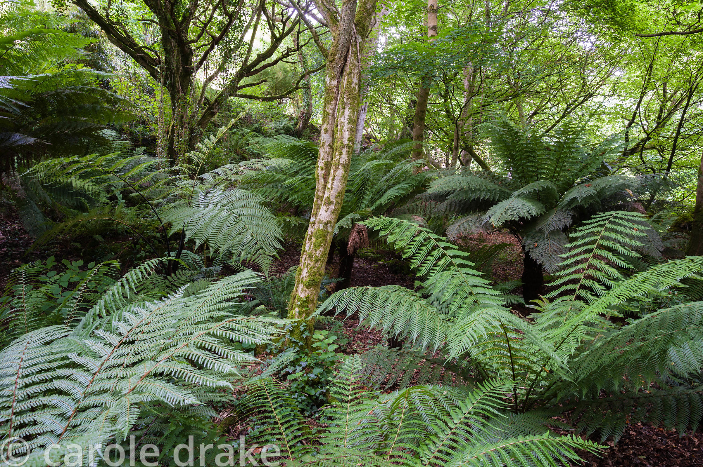 Lush ferns below silver birches in woodland