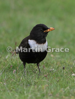 Ring Ouzel (Turdus torquatus) male with Mealworms (Tenebrio molitor) in his bill, Glen Tanar, Royal Deeside, Aberdeenshire, S...