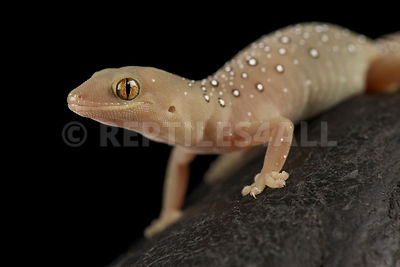 Jewelled gecko (Strophurus elderi)