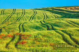 Corn field with truck traces - Europe, Italy, Tuscany, Pisa, Volterra, Fabbrica - digital - Getty image 89983493