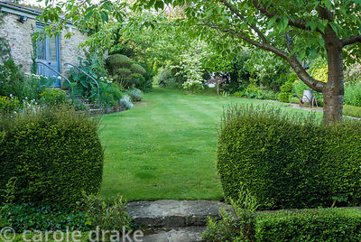 Low hedges of Lonicera nitida frame steps up to a lawn with Cornus kousa. Private garden, Dorset, UK