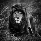 09426-The_black_maned_lion_2_Tanzania_2018_Laurent_Baheux