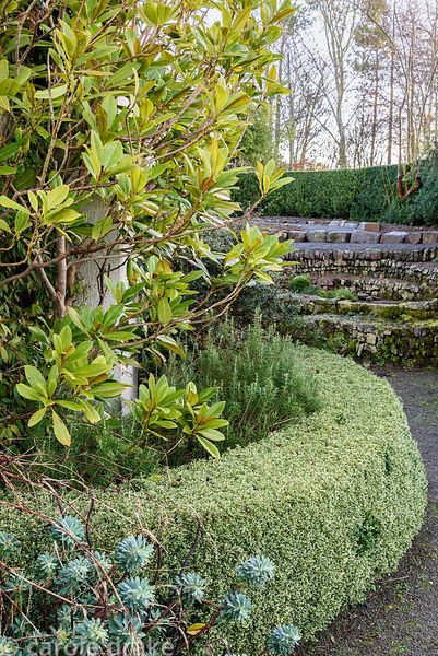 Clipped variegated box hedge surrounding rosemary and magnolia at Higher Cherubeer, Devon