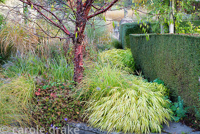 Prunus serrula underplanted with Hakonechloa macra 'Aureola', pennisetums and hardy geraniums at Barn House, Chepstow in October