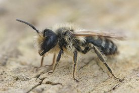 Andrena flavipes, male