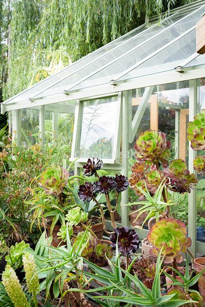 Aeoniums including 'Voodoo' and 'Zwartkop' with eucomis and other exotics outside the greenhouse at Oak Barn, Newark, Notts i...
