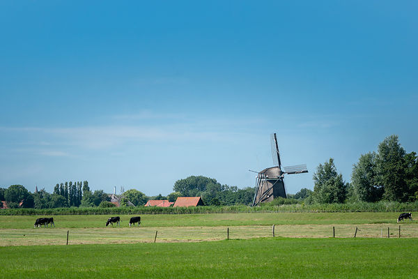 Dutch windmill and grazing cows