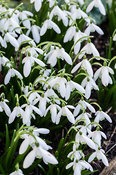 Galanthus nivalis 'Anglesey Abbey'.
